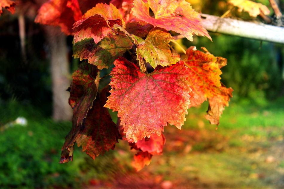 Amantea Autumn Autunno  Beauty In Nature Colori Cosenza Focus On Foreground Foglie Leaves Nature Nature No People Novembre Outdoors Serra D'Aiello Uva Vendemmia Vite