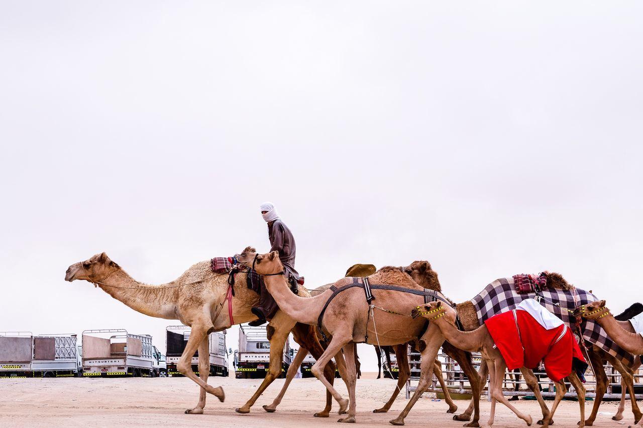 Beautiful stock photos of dubai, Animal Themes, Camel, Clear Sky, Copy Space