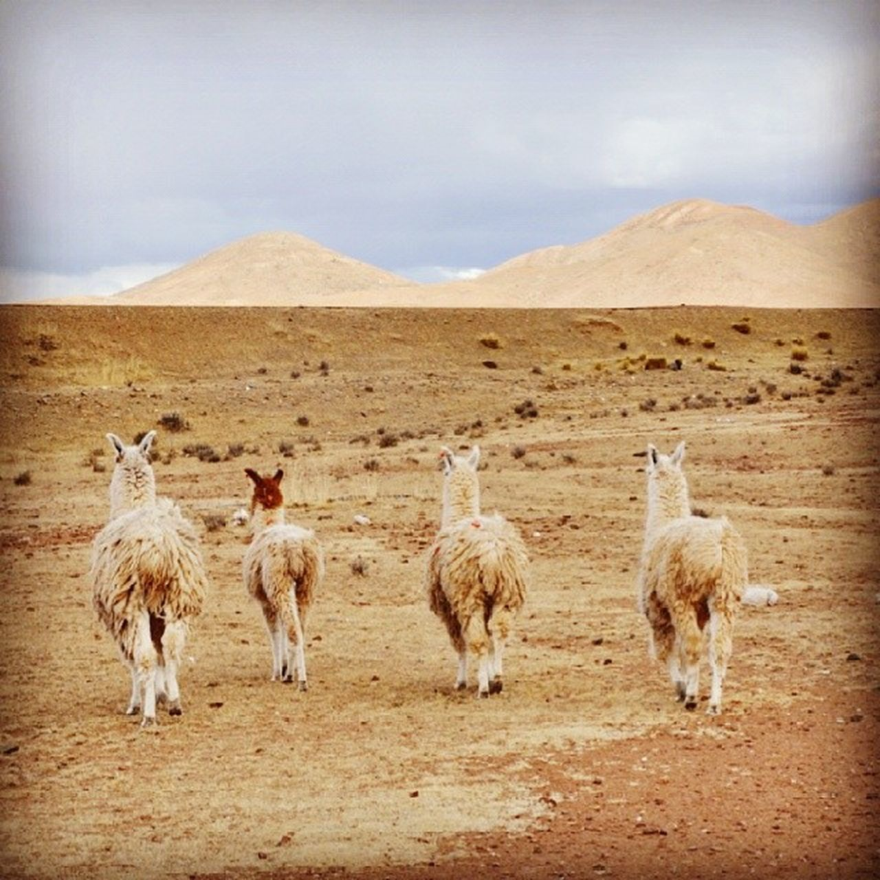 Rear View Of Llamas On Desert Landscape