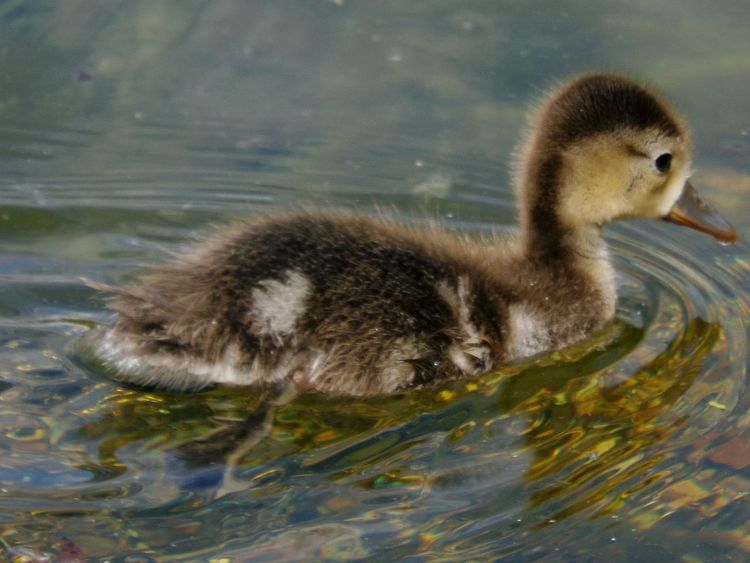 Young Pochard Water Fowl Lake Pochard One Animal Park - Man Made Space Animal Themes Nature Beauty In Nature Outdoors Eye4photography  From My Point Of View EyeEmBestPics EyeEm Best Shots No People EyeEm Gallery Animal Head  Wildlife Photography Wildlife & Nature Bird Wildlife EyeEm Nature Lover Water Animal Close-up Young Animal