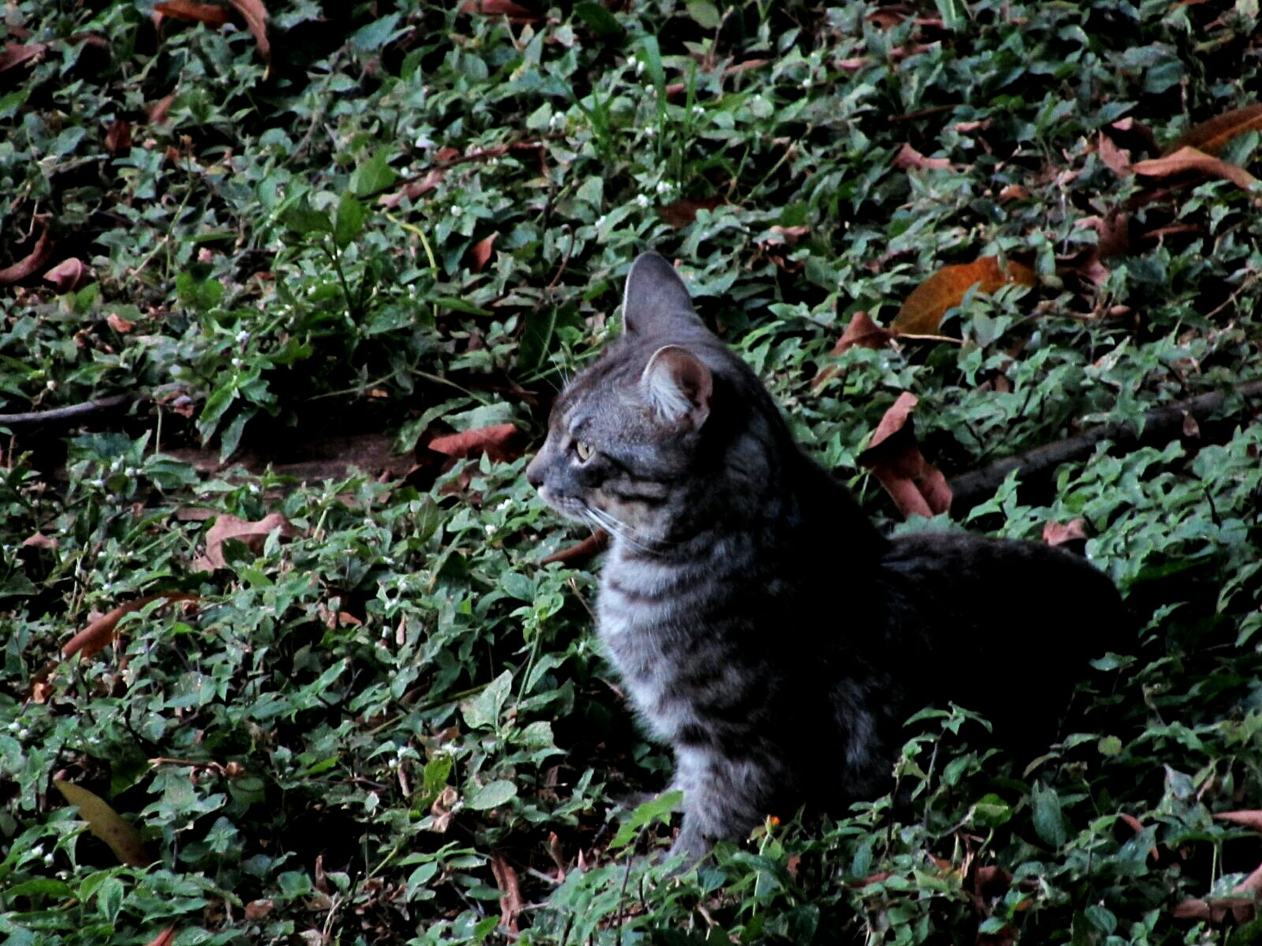 pets, one animal, animal themes, domestic cat, cat, domestic animals, mammal, feline, plant, relaxation, black color, leaf, whisker, grass, high angle view, sitting, looking away, resting, growth, lying down