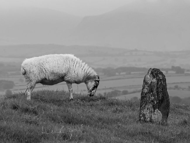 Animal Black & White Black And White Blackandwhite Photography Domestic Animals Field Landscape Landscape Photography Landscape_Collection Landscape_photography Landscapes Mist Misty Misty Morning Misty Mountains  Monochromatic Monochrome Mountain Outdoors Sheep Sheeps Sheep🐑 Standing Stones Stone Stone - Object