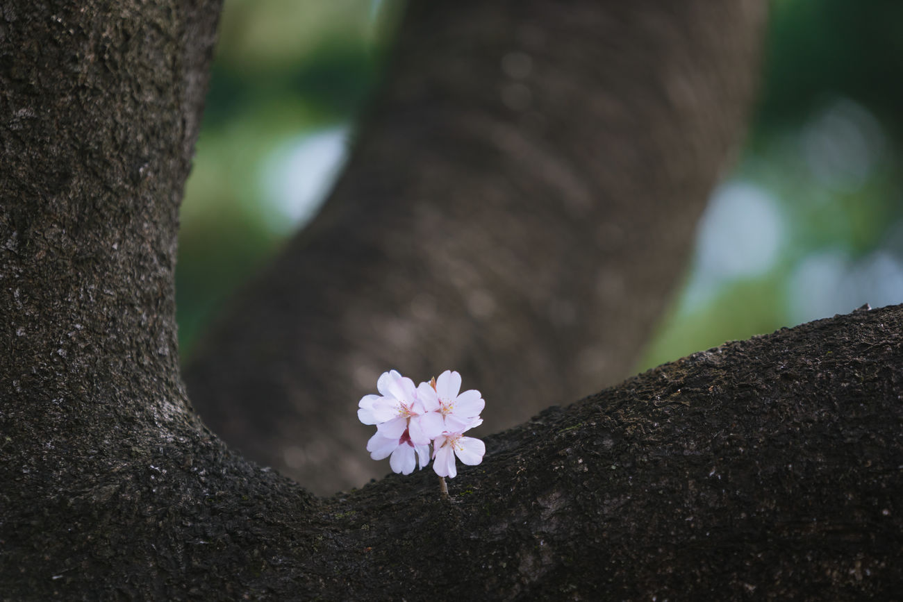 We are a little sakura. Beauty In Nature Branch Branches Cherry Blossom Cherry Blossoms Chidorigafuchi Close-up Day Flower Flower Head Focus On Foreground Fragility Freshness Growth Japan Japan Photography Japanese  Nature Nature No People Outdoors Pink Sakura Tree Tree Trunk