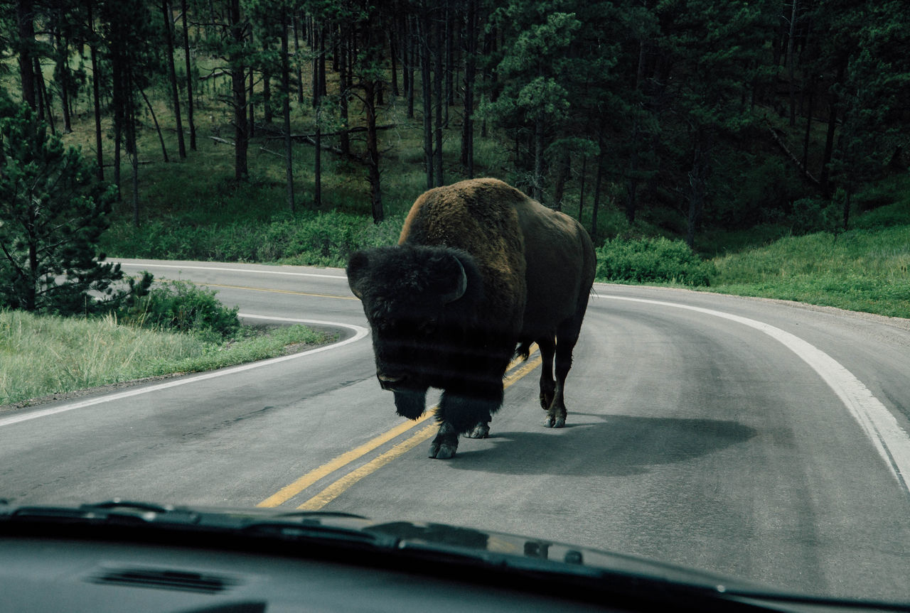 American Bison Animal Themes Animals In The Wild Bison Car Car Interior Day Green Color Mammal Nature No People One Animal Outdoors Road Transportation