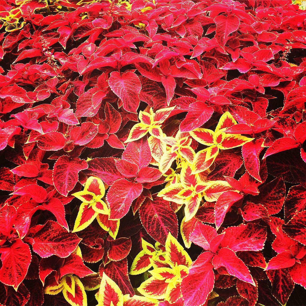Color Palette Plant Coleus Red Nature Taking Photos Amazing Amateurphotography