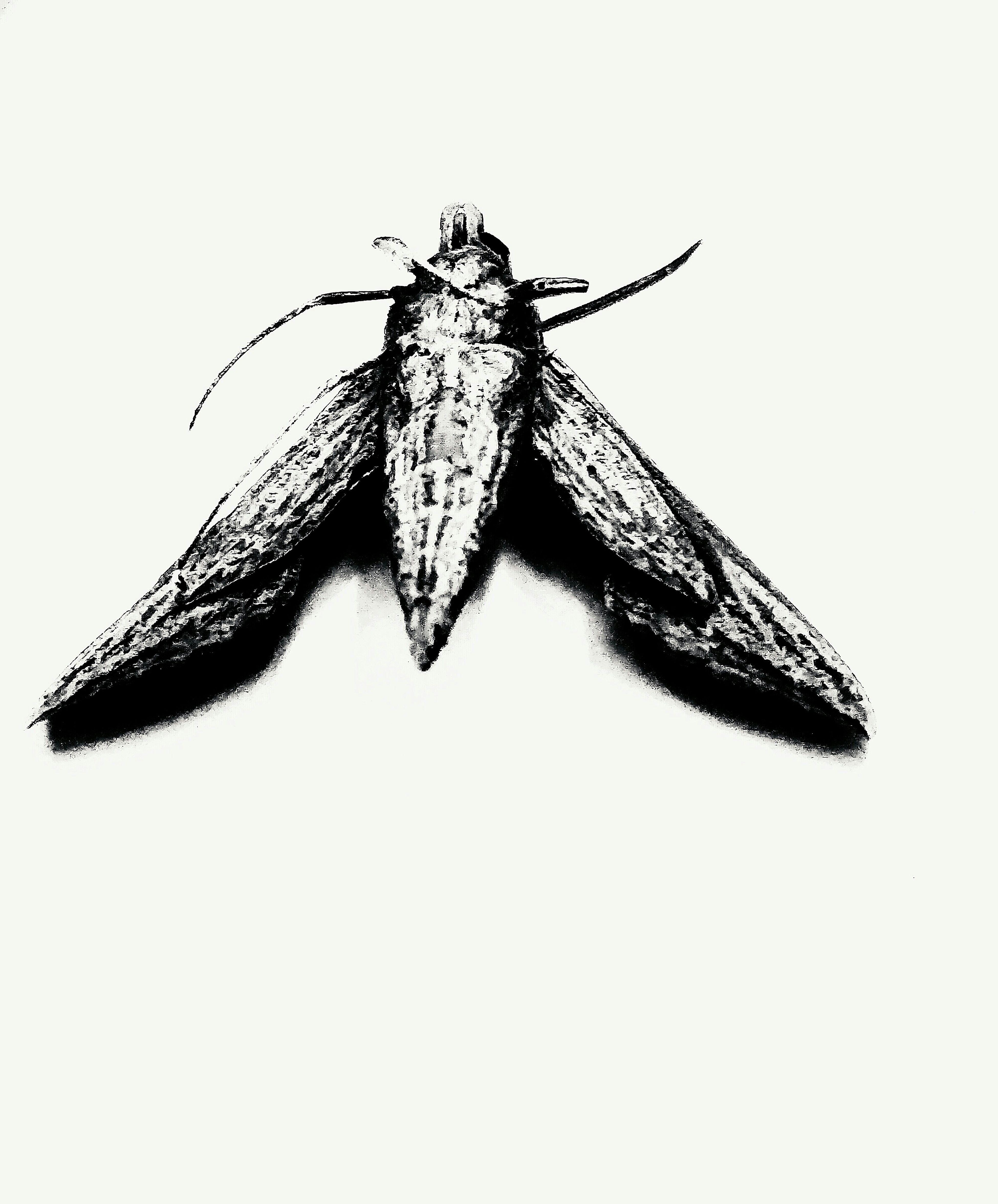 Insect Moth Blackandwhite Likeaninkdrawing Reverse Reversaloffortune