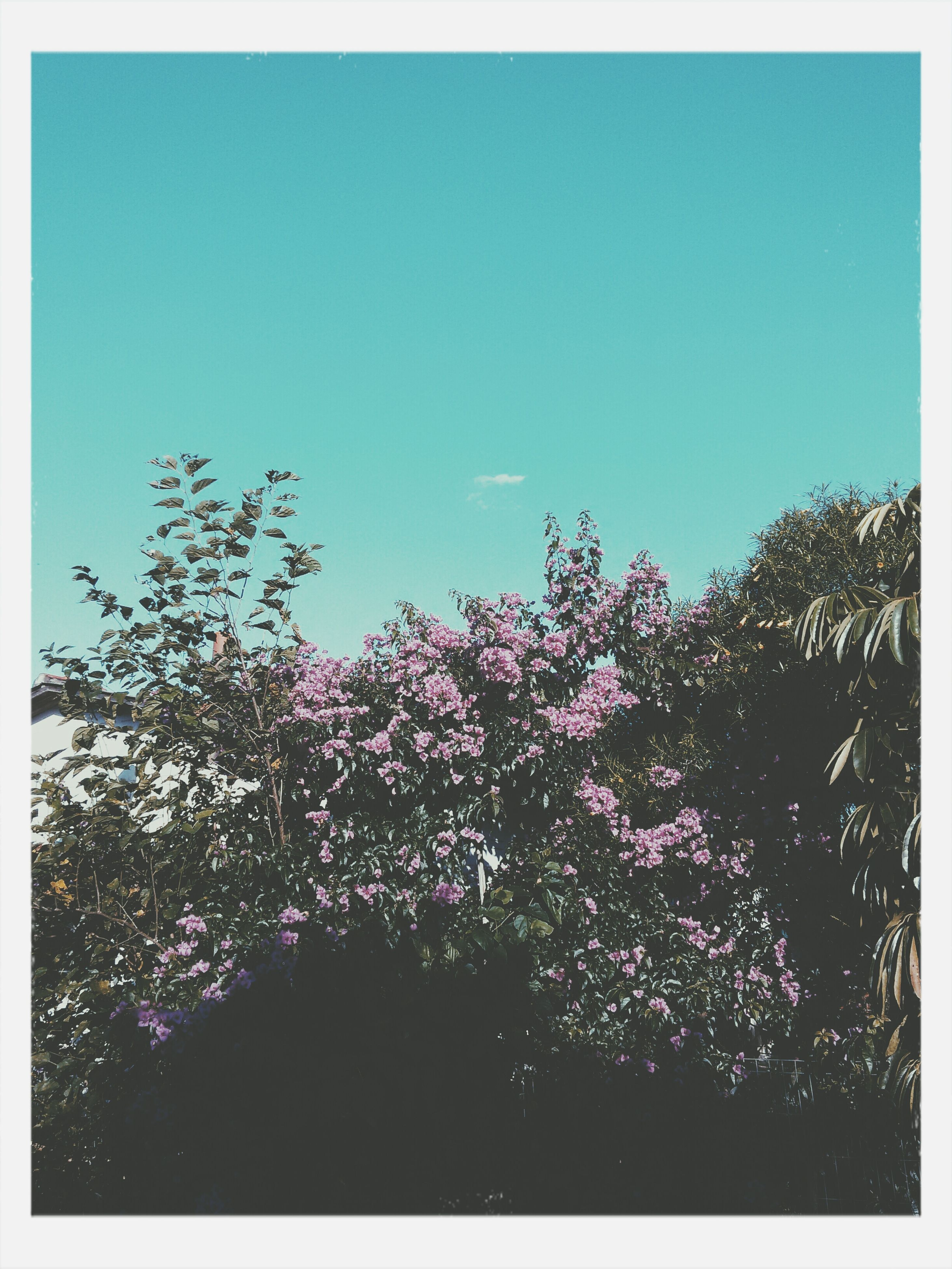 tree, clear sky, flower, growth, blue, low angle view, beauty in nature, transfer print, copy space, nature, auto post production filter, freshness, sky, purple, branch, tranquility, blooming, fragility, outdoors, blossom