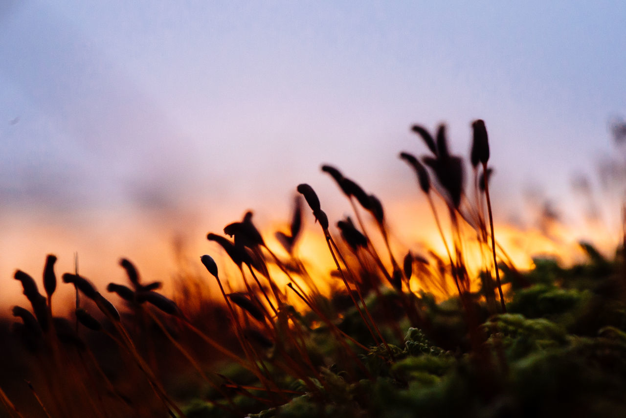 Close-Up Of Moss Growing Against Sky During Sunset
