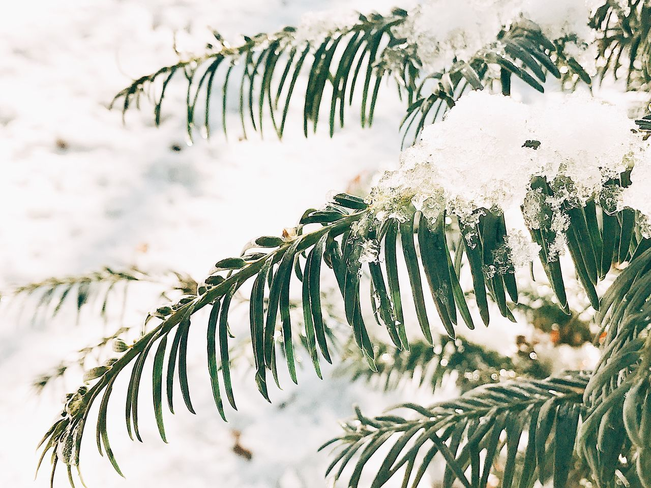 Nature Winter Tree Beauty In Nature Snow Pine Tree Cold Temperature Growth Branch Environment No People Tranquility Needle - Plant Part Outdoors Ice Day Close-up