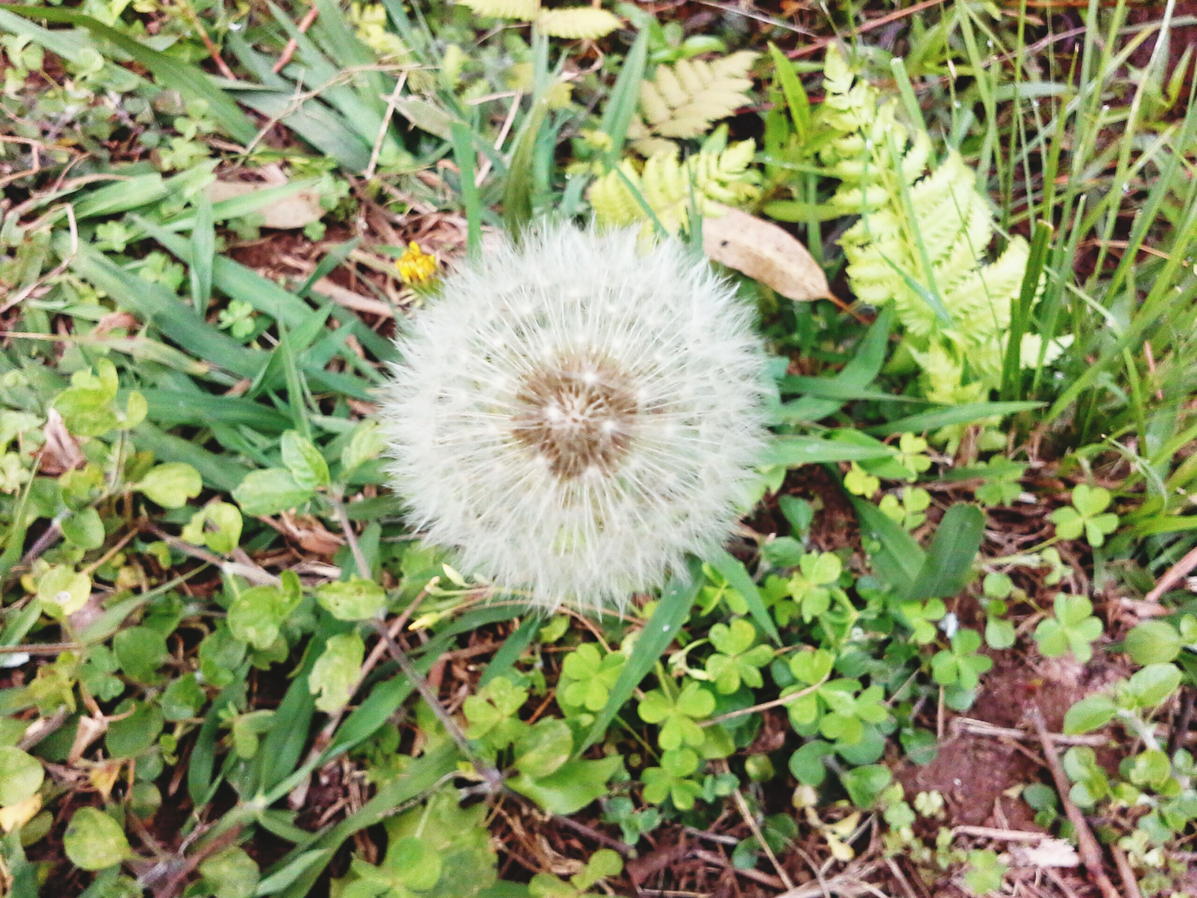 growth, flower, high angle view, fragility, dandelion, freshness, nature, white color, plant, field, green color, beauty in nature, leaf, flower head, uncultivated, close-up, grass, day, growing, wildflower