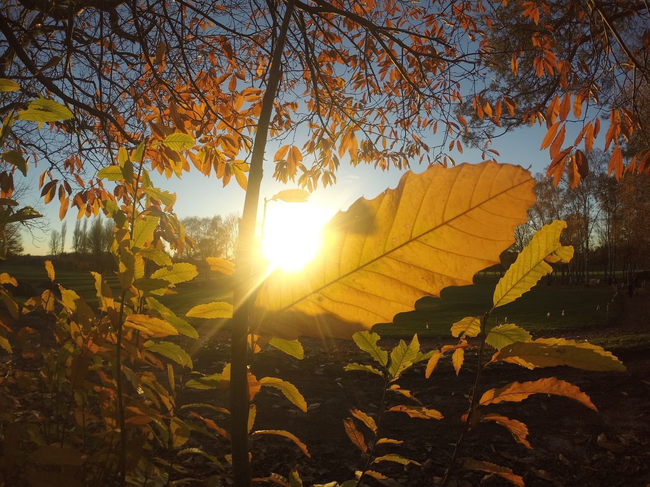 Sun Shining Thought The Leaves...x Leaf Sunlight Sun Nature Tree Sunbeam Growth Beauty In Nature Autumn Plant Sunset Sky Landscape Golfcourse Golf Course Winter Leaves First Eyeem Photo FirstEyeEmPic