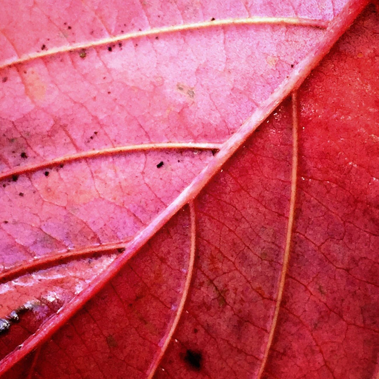 Close-up Leaf Sometimes Things Just Find You Like This Nature Symmetry Red Macro