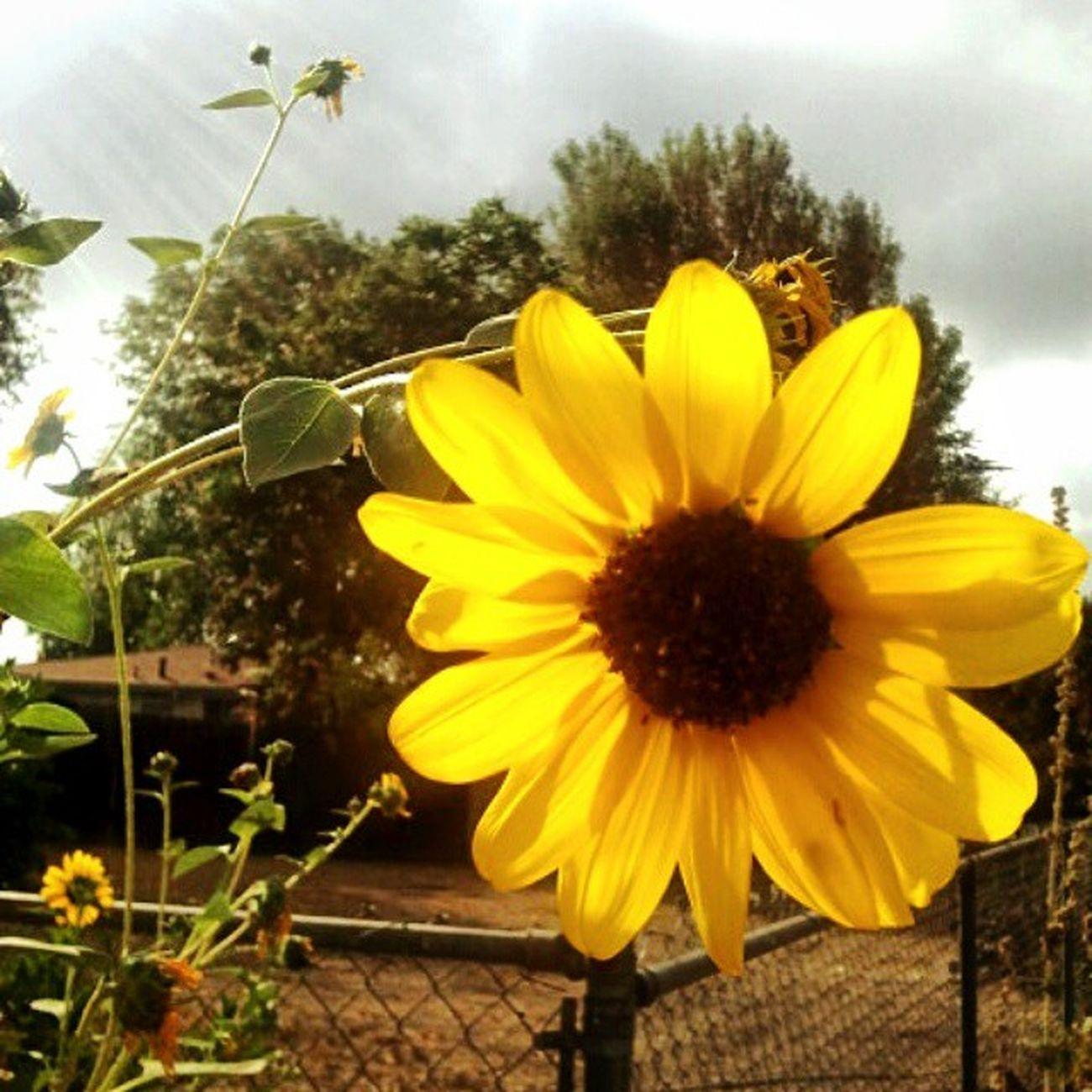 🌻 power ❤ Sunflowers Alohafriday Flashbackfriday Favoriteflower