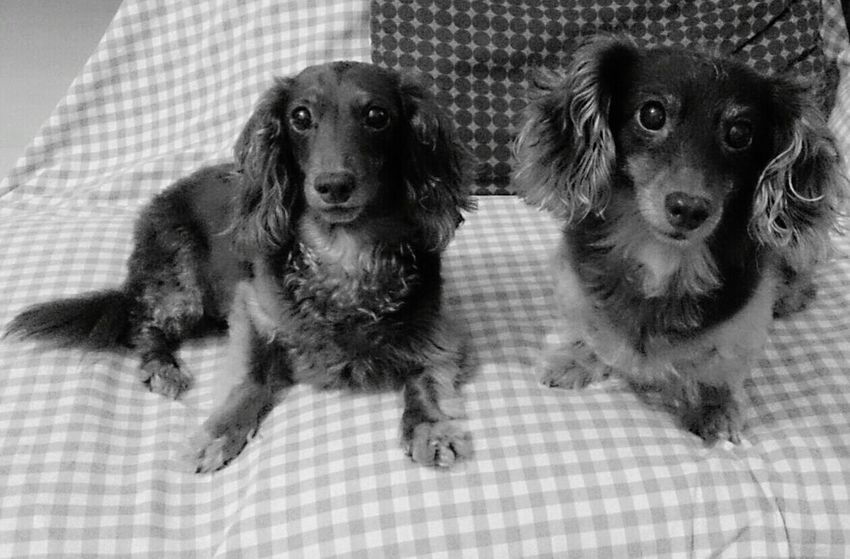 With Dog Love Two Dogs My Angels
