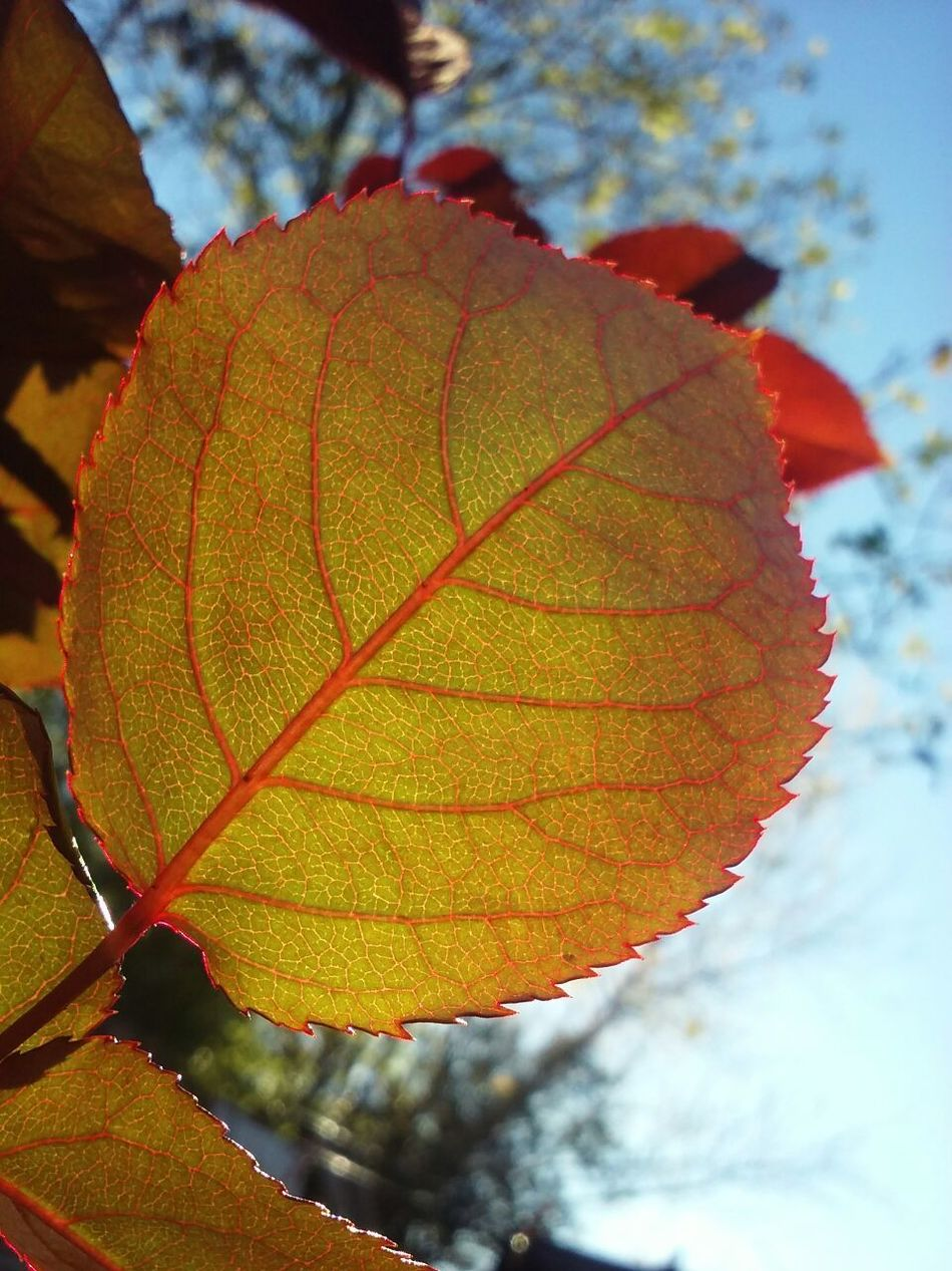 Lo esencial es invisible a los ojos 😍 Focus On Foreground Natural Pattern Natural Condition Fragility Day Red Red Light Nature Outdoors Leaf Vein Vein Red Leaf 🍂 Leaf Fantasy Leafs Photography Sheets🍃 NoPeopleAround Focus Lightsun Sunset Reticulated Reticulated Ribbing Ribbing EyeEm Nature Lover