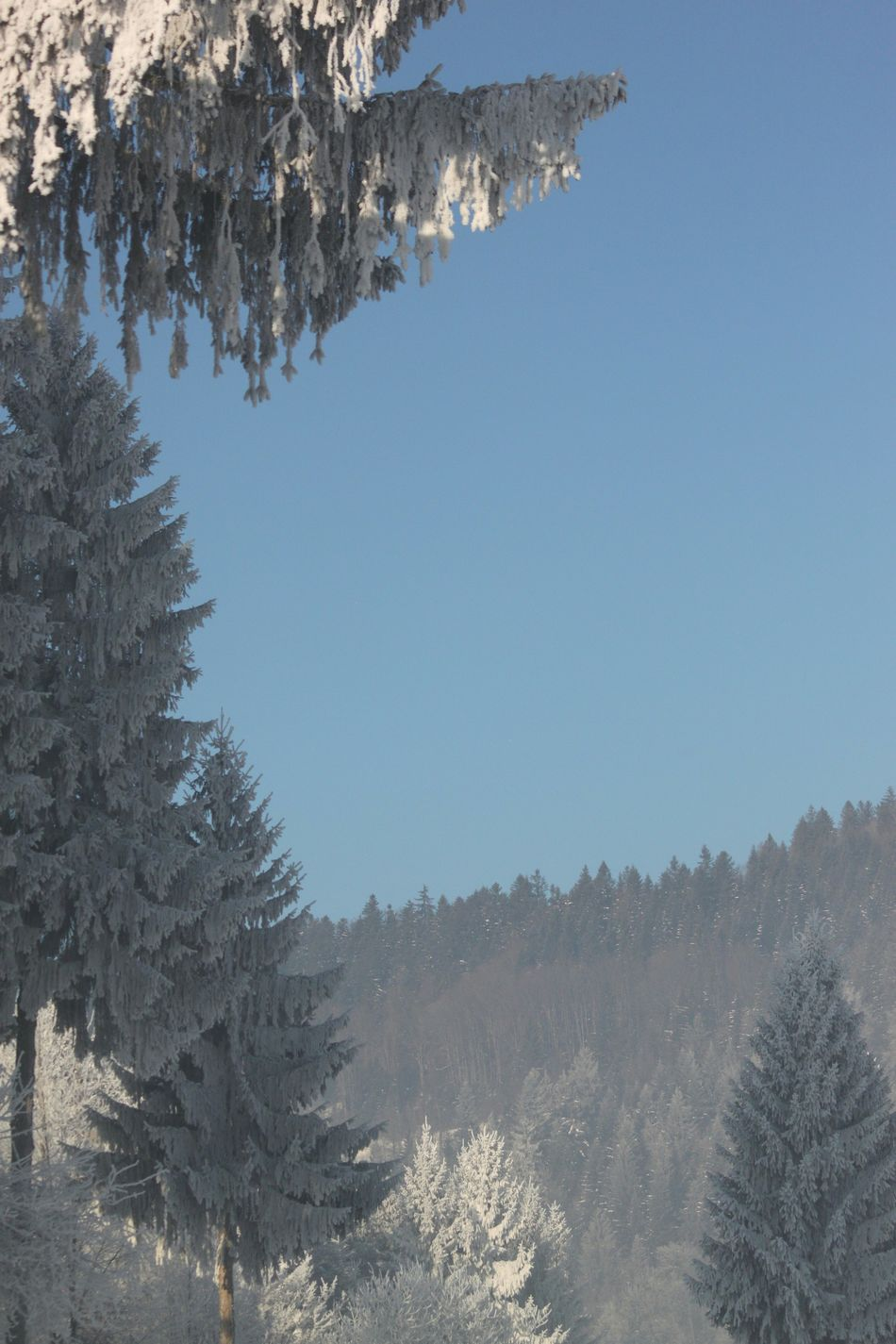-20°C -5°F Frosted Pinetree Frost Pine Tree Pinaceae Blue Tree Branch Pine Woodland Clear Sky No People Nature Snowflake Coniferous Tree Snow Pine Wood Outdoors Sky Day