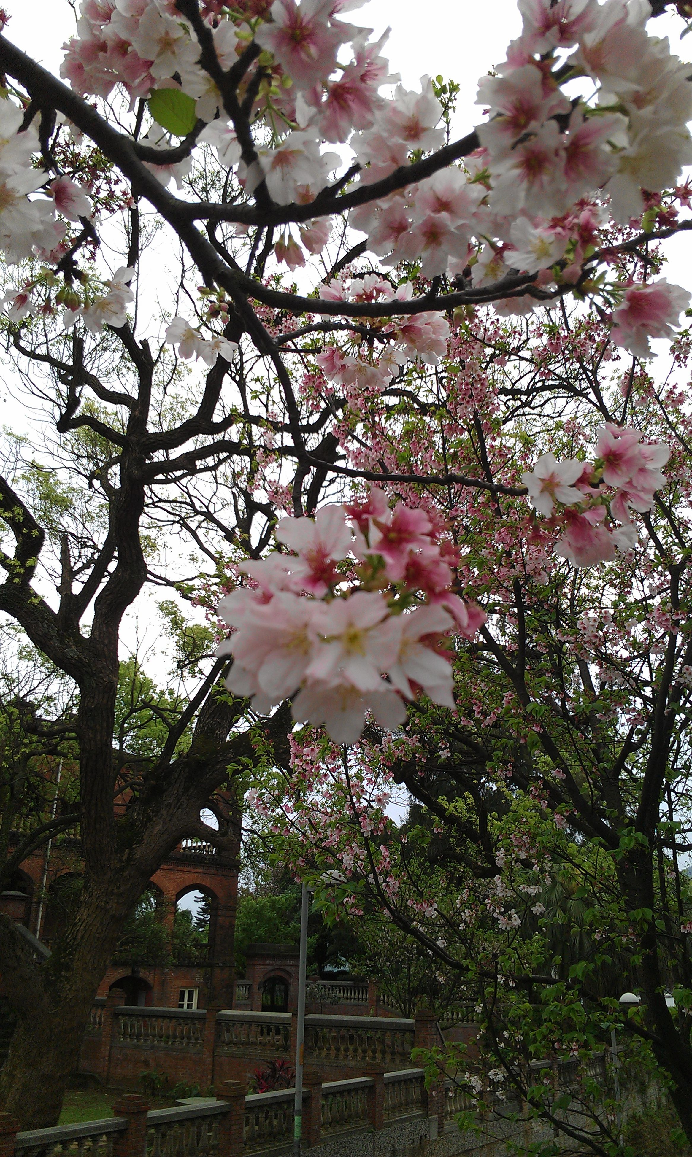 flower, tree, freshness, growth, branch, pink color, fragility, low angle view, blossom, beauty in nature, nature, cherry blossom, in bloom, blooming, sky, cherry tree, petal, built structure, architecture, springtime