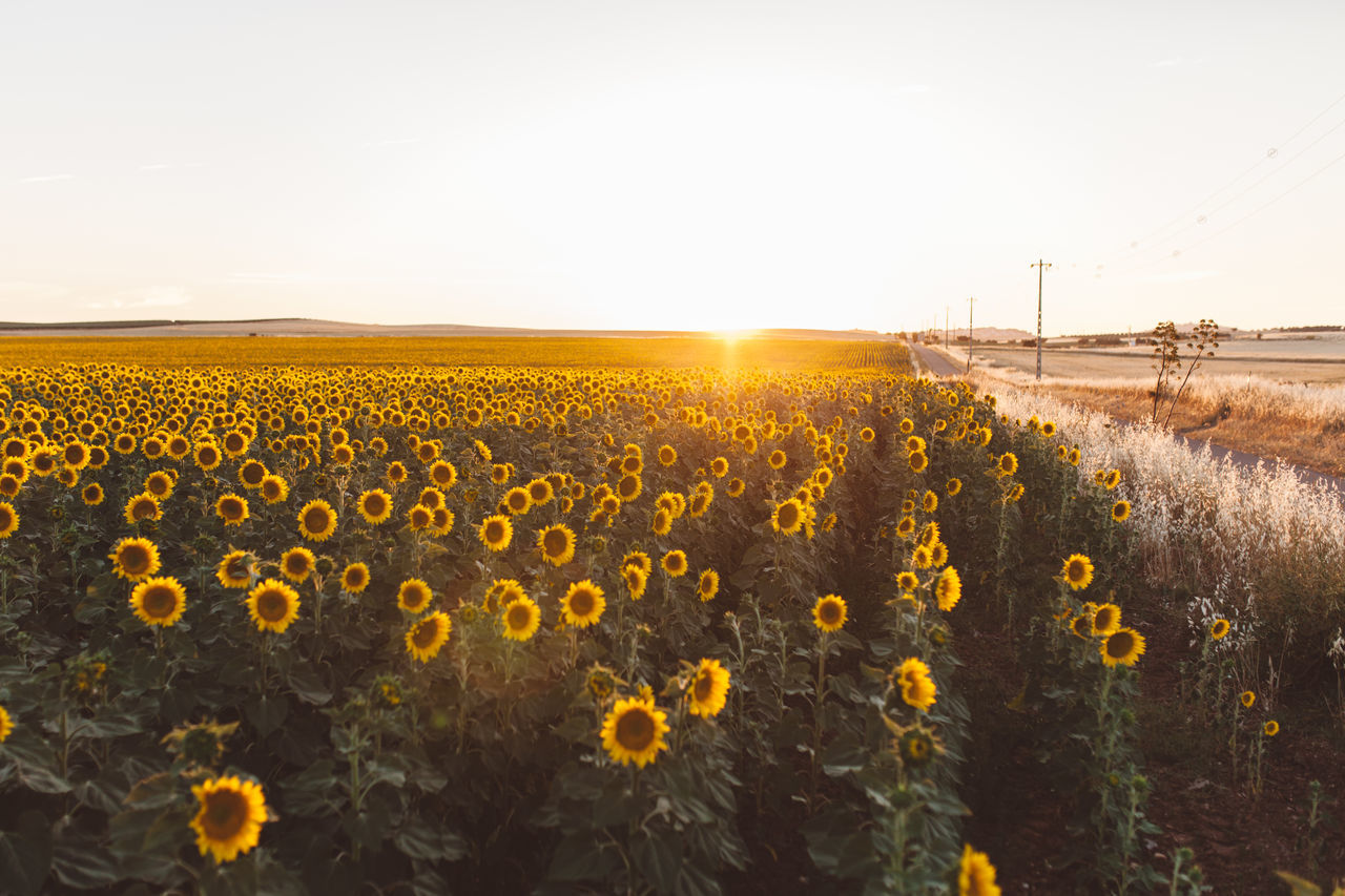 Agriculture Beauty In Nature Clear Sky Crop  Field Flower Flower Head Fragility Freshness Growth Landscape Nature Outdoors Plant Rural Scene Sunflower Sunflowers Sunflowers Field Sunflowers🌻 Sunflower🌻 Sunlight Sunset Tranquil Scene Tranquility Yellow