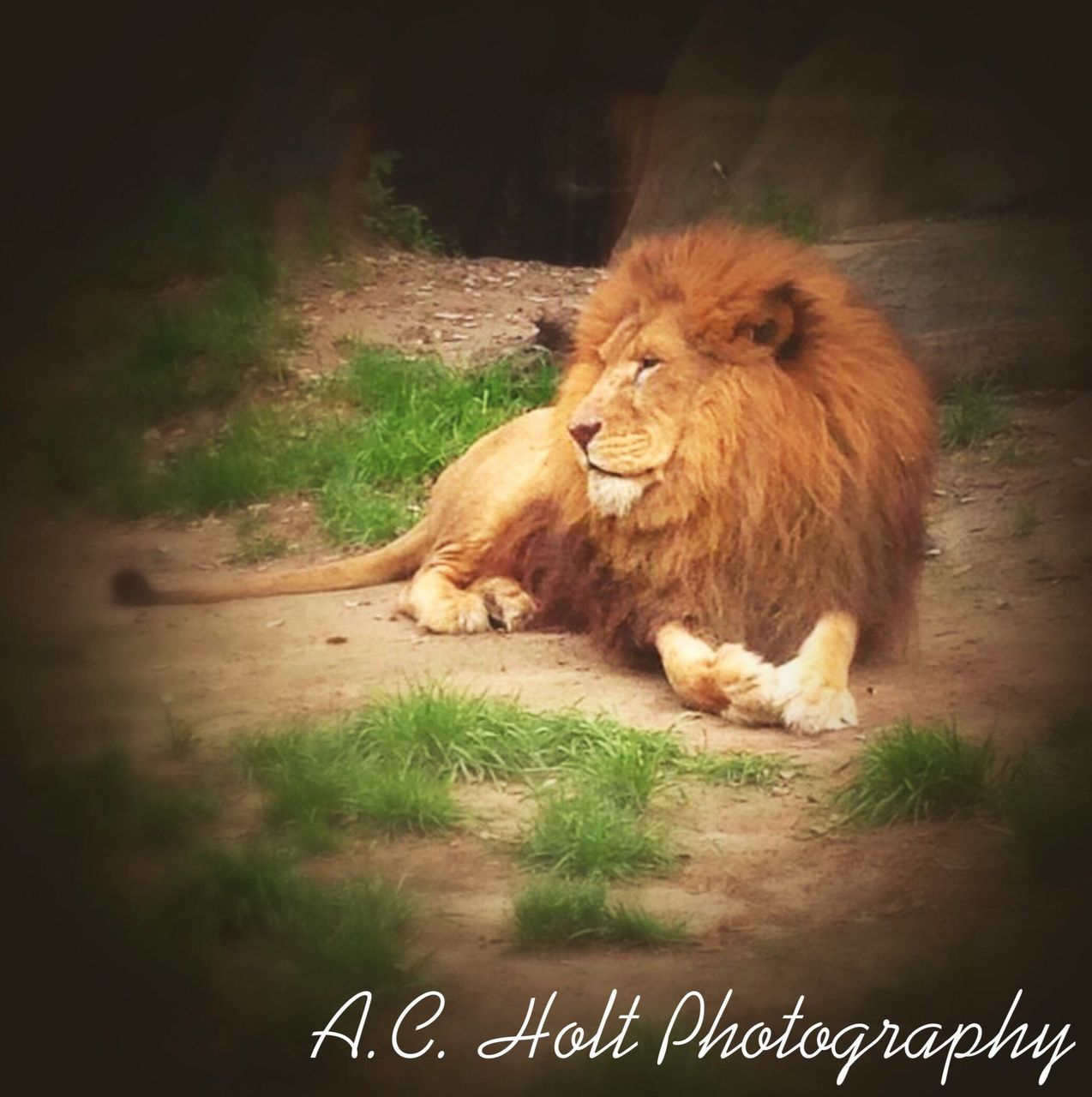 animal themes, one animal, mammal, no people, animals in the wild, lion, day, plant, feline, relaxation, outdoors, grass, nature