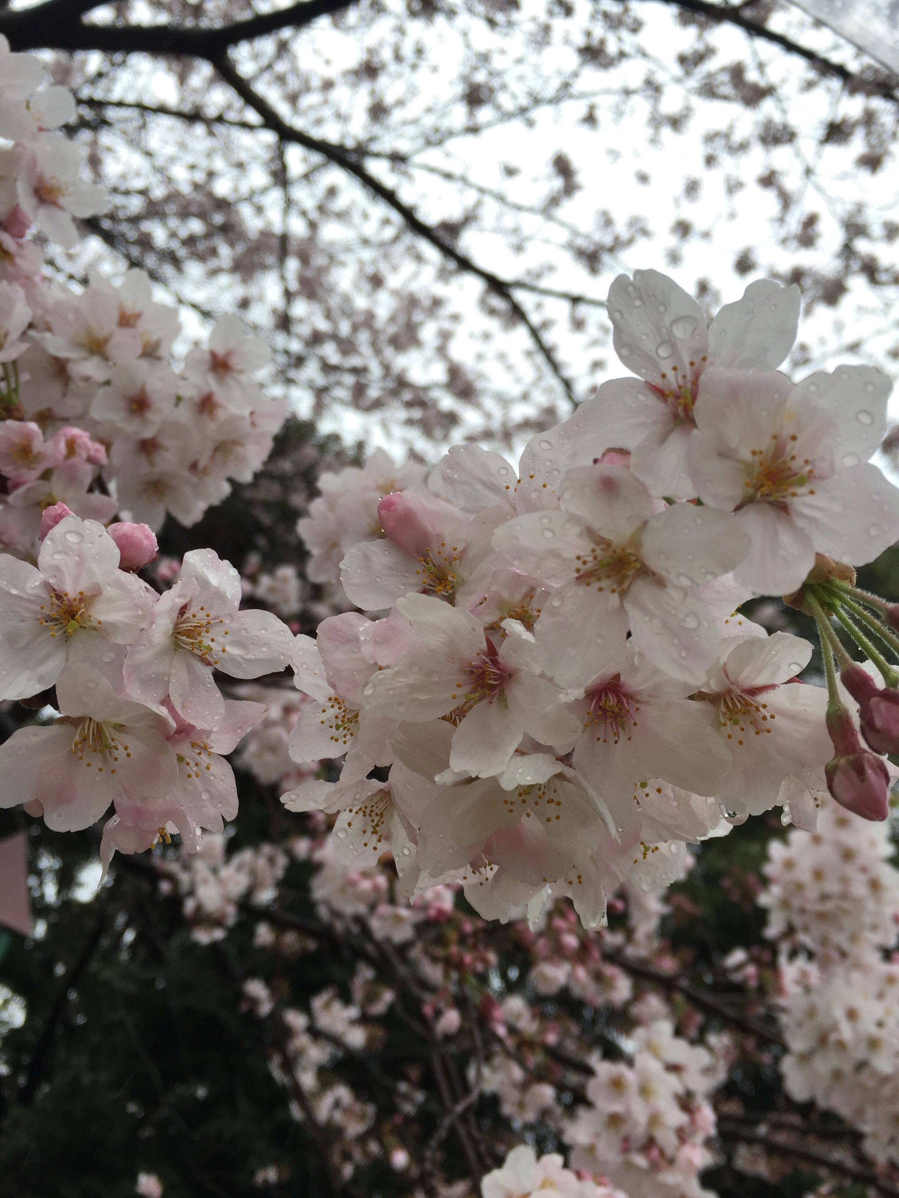 flower, freshness, fragility, cherry blossom, growth, branch, tree, petal, cherry tree, beauty in nature, blossom, nature, pink color, blooming, in bloom, springtime, flower head, close-up, low angle view, fruit tree