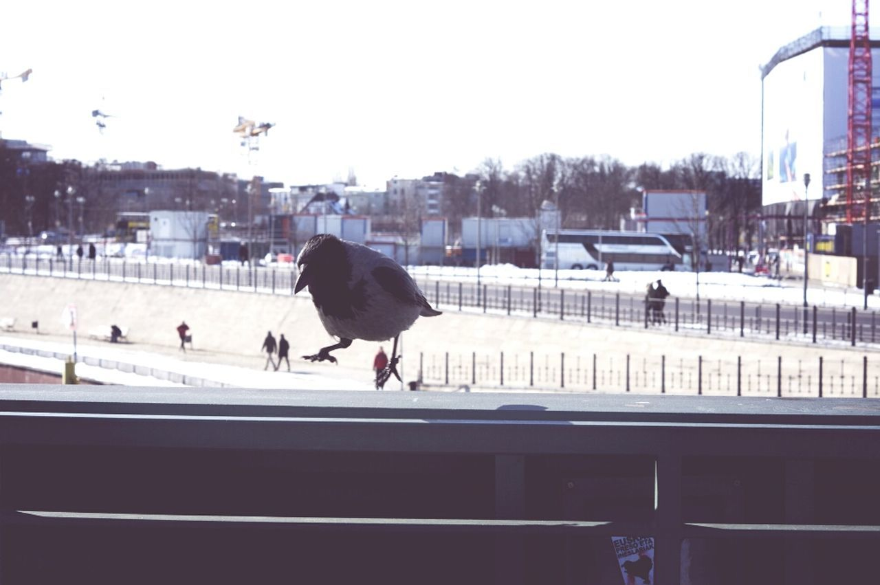 Jumping crow Streetphotography Bird On The Fly
