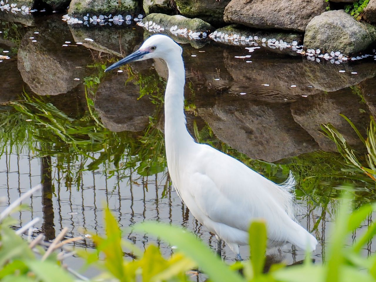 Animals In The Wild White Color Bird Animal Wildlife Animal Themes One Animal Nature Outdoors No People Day Water Beauty In Nature Close-up Springtime Tokyo Street Photography Japan Photography Focus On Foreground Freshness Egretta Garzetta Bird