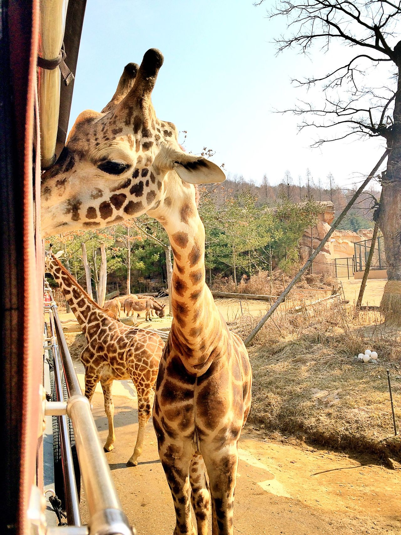 Giraffe Giraffes Love Anmial Too Close Touch Nature