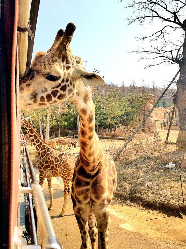 Giraffe Giraffes Love Anmial Too Close Touch Nature