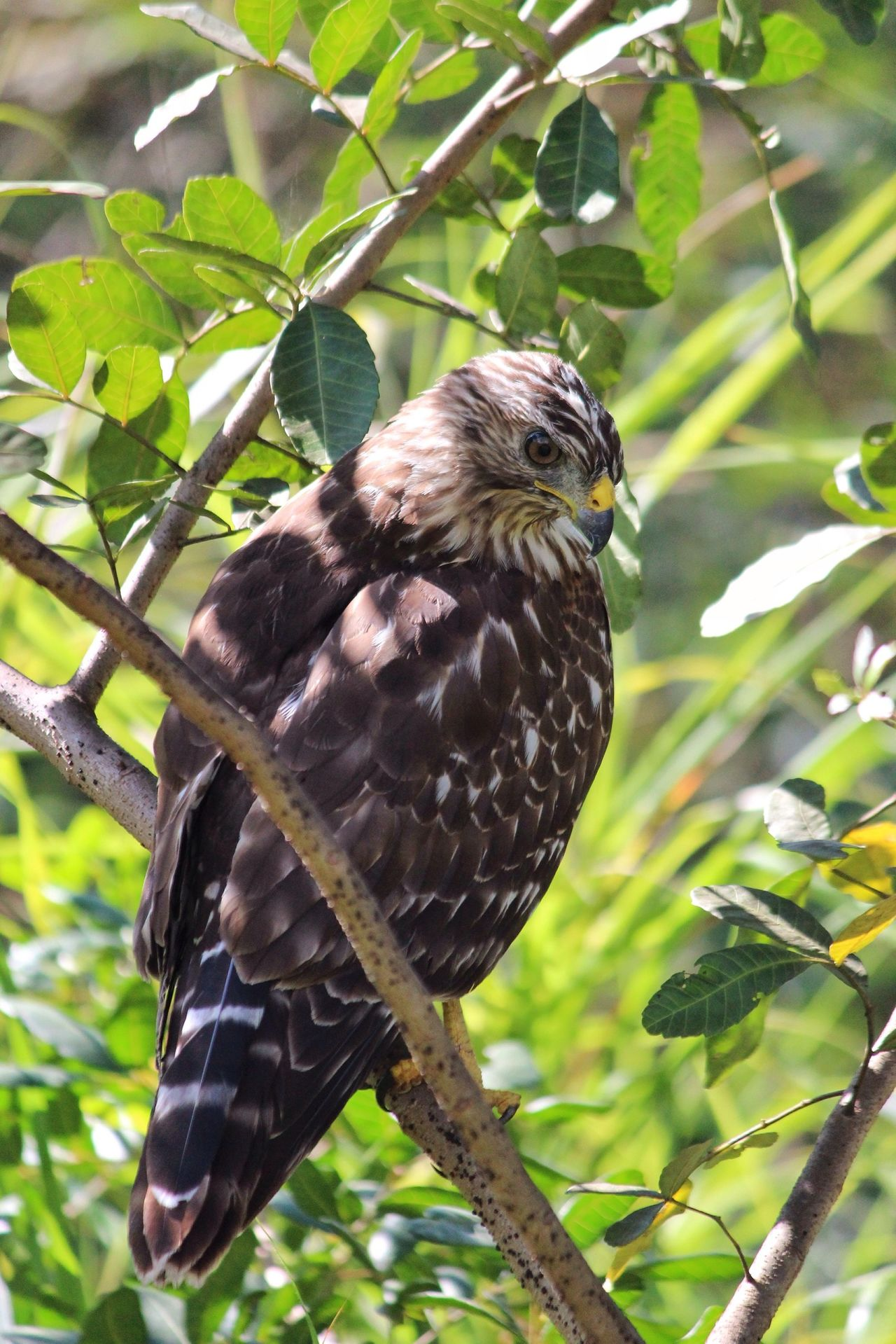 Beautiful stock photos of hawks, Animal Themes, Animals In The Wild, Bird Of Prey, Branch