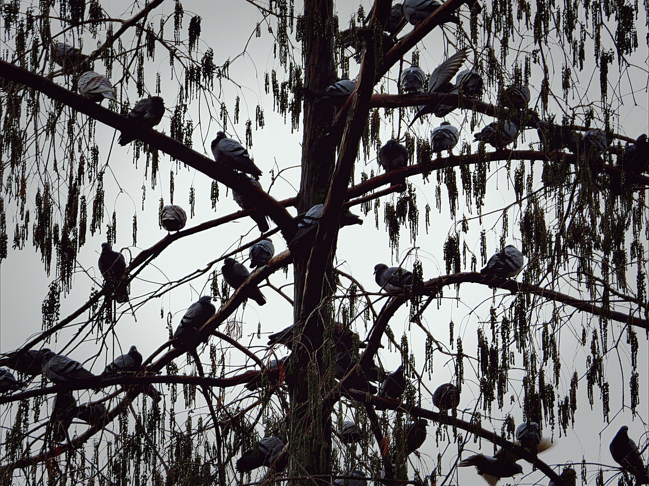 Birds_collection Birds_n_branches Cold Day Outdoors Pigeonslife Tree Silhouette Tree_collection  Wintertime