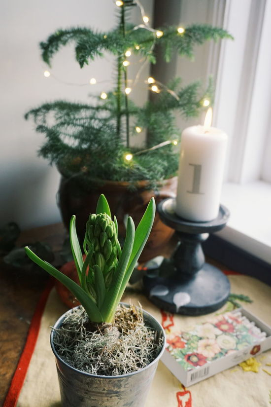 first sunday of advent Indoors  Preparation  Green Color No People Close-up Freshness Day Christmas Tree Candlelight Christmas Around The World Advent Advent Season Advent Light First Sunday Of Advent Advent Candle Christmastime Christmas Decorations Nature Home Interior Christmas Flower Home Candle Flower Candles Christmas Lights