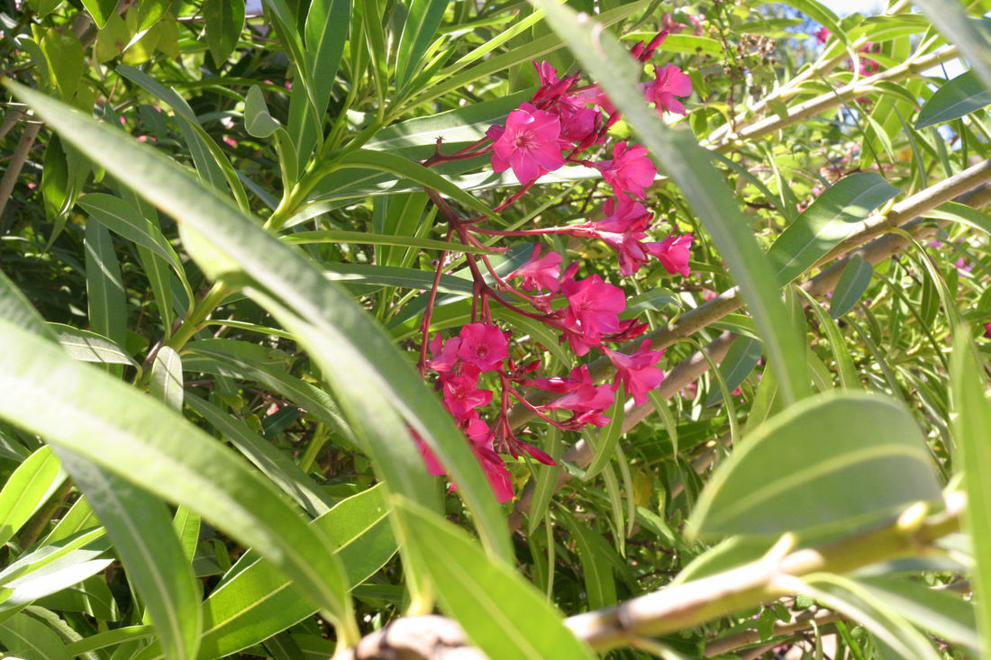 Beauty In Nature Blooming Botany Close-up Flower Flower Head Focus On Foreground Fragility Freshness Green Green Color Growth In Bloom Leaf Mediterranean Flowers Nature No People Oleander Oleander Flowers Outdoors Petal Pink Color Plant Purple Selective Focus