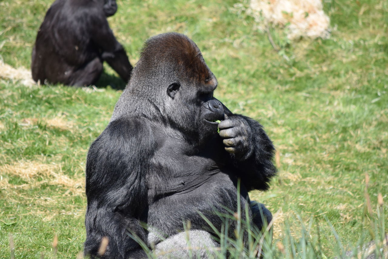 gorilla Animal Themes Animal Wildlife Animals In The Wild Ape Beauval Chimpanzee Close-up Day Female Gorilla Gorille Grass Green Male Mammal Monkey Nature No People One Animal Outdoors Power Primate Sitting Strong Zoo