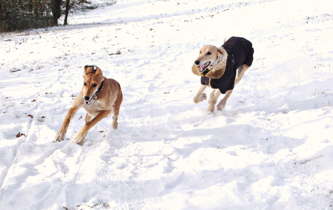 Activity Adventure Animal Themes Cold Temperature Day Dog Domestic Animals Friendship Landscape Motion Nature Outdoors Pets Race Saluki Sled Dog Snow Togetherness Vitality White Color Winter