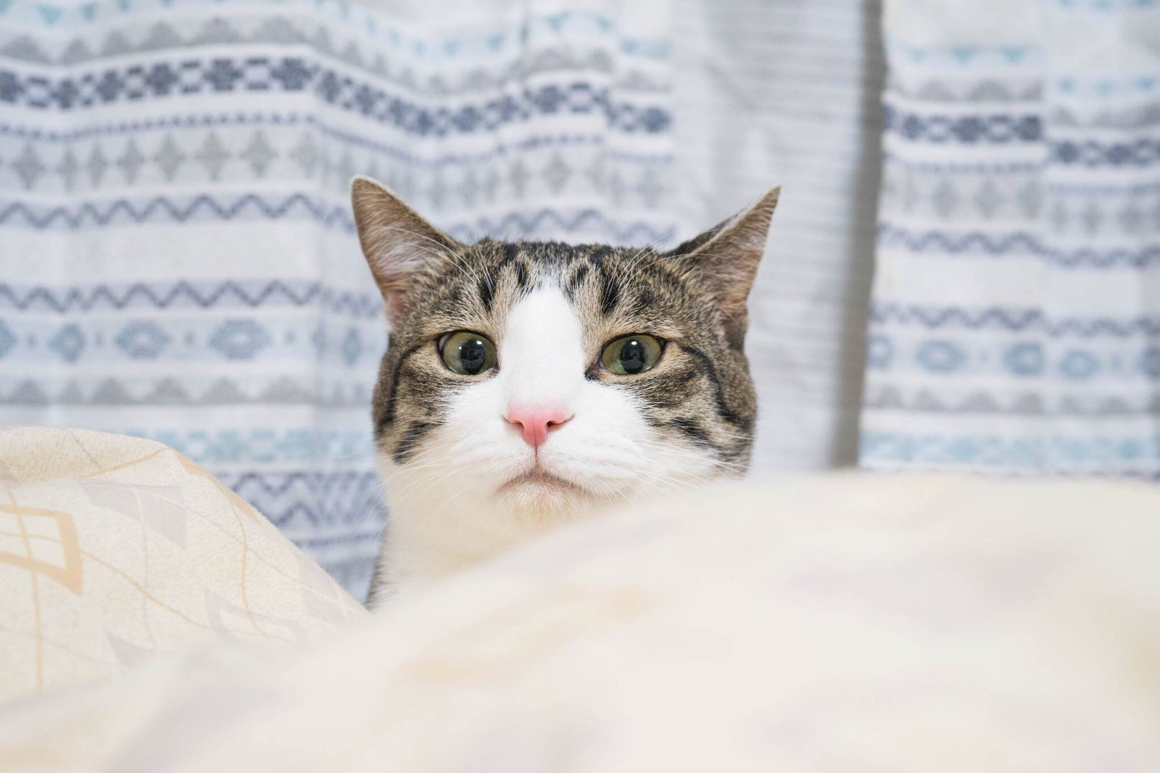 domestic cat, pets, looking at camera, portrait, domestic animals, mammal, feline, animal themes, one animal, no people, close-up, indoors, tabby cat, day