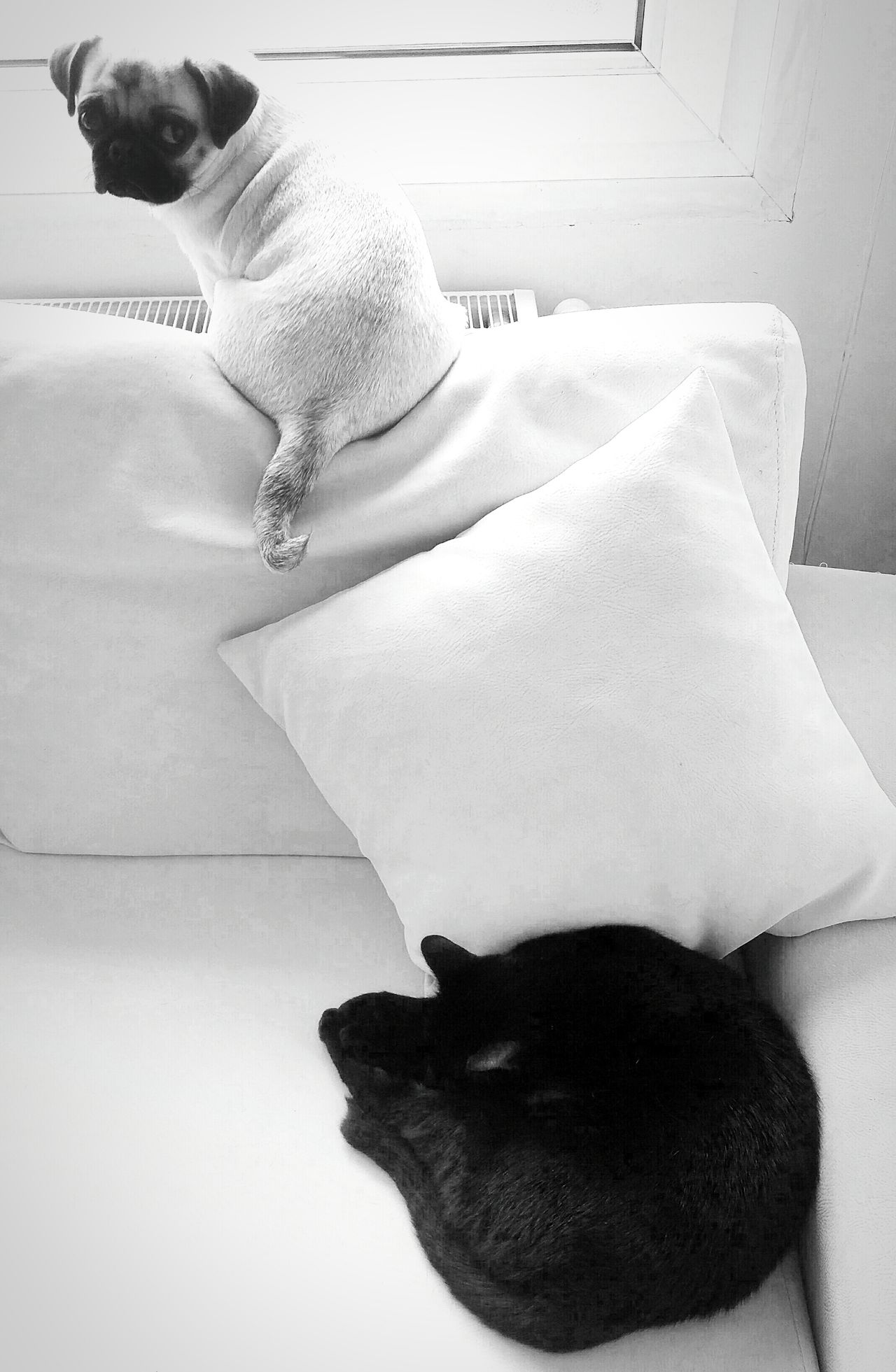 Pugandcat Pug Life  Pugs Pug Love Things ı Like Blackandwhite Black & White Blackandwhite Photography Blackandwhitephotography Black&white