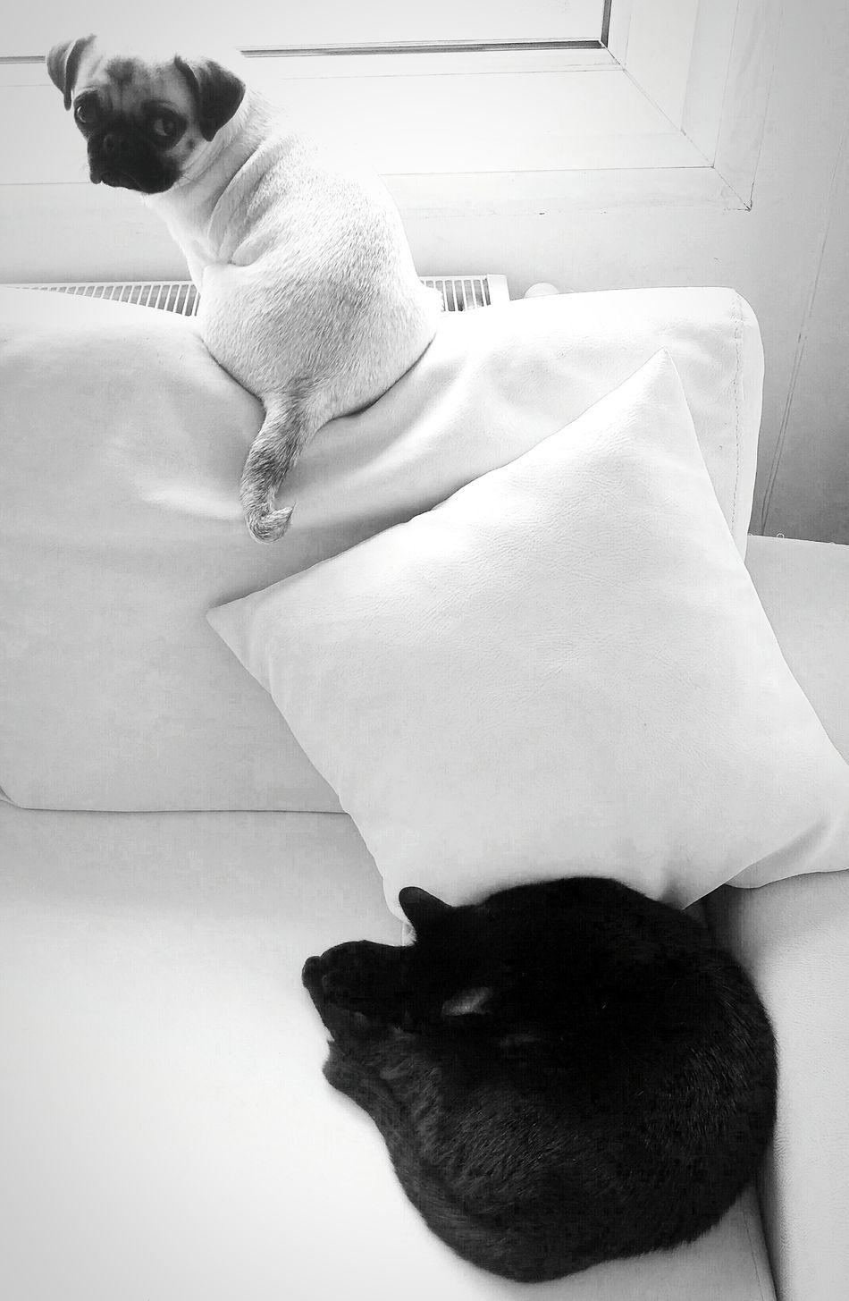 Pugandcat Pug Life  Pugs Pug Love Things ı Like Blackandwhite Black & White Blackandwhite Photography Blackandwhitephotography Black&white
