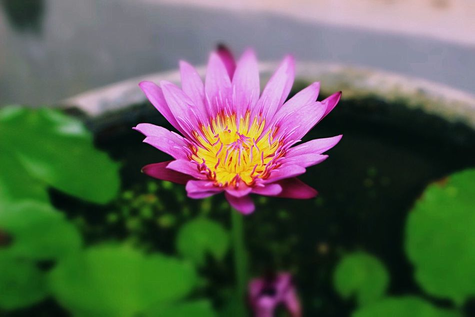 Lily Pond Flower Beauty In Nature Freshness Pink Color Petal Blooming No People Day Outdoors