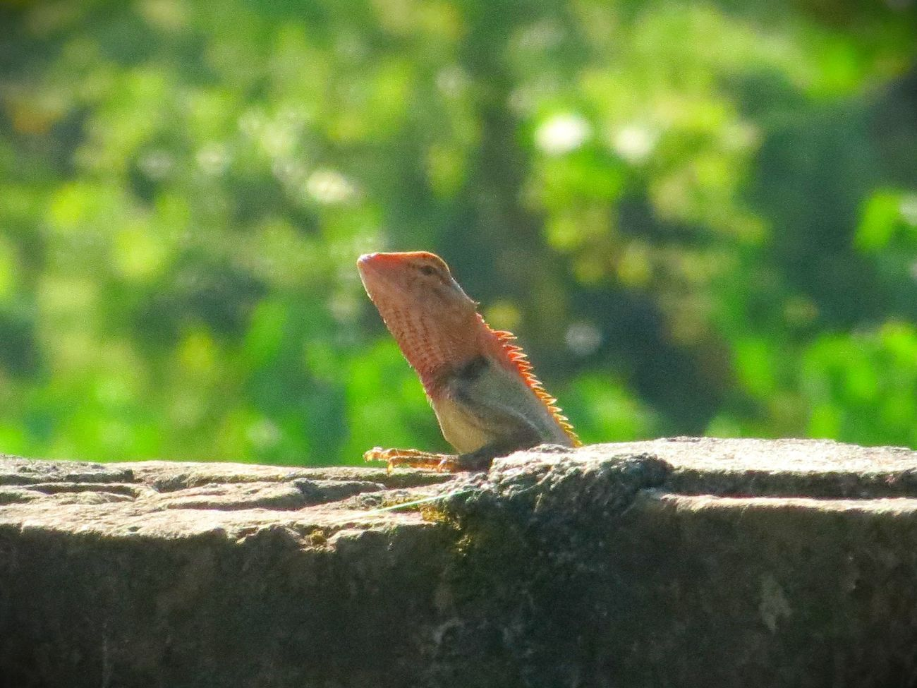 Garden Lizard First Eyeem Photo