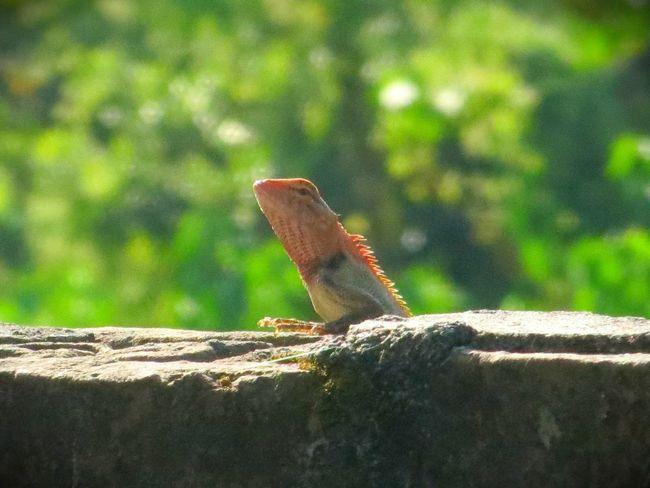 Garden Lizard First Eyeem Photo