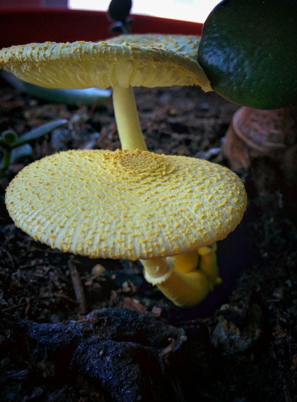 Flowerpot Mushrooms My Office Yellow