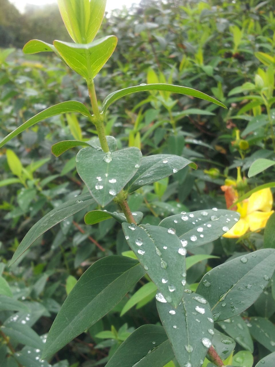 drop, leaf, growth, nature, freshness, water, wet, plant, green color, beauty in nature, fragility, day, raindrop, close-up, no people, outdoors, purity, flower, flower head, animal themes