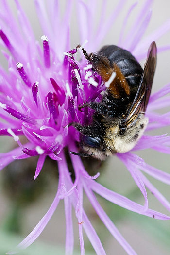 A bee enjoys a purple wildflower. Animal Themes Beauty In Nature Bee Botanical Close-up Feeding  Flower Flower Head Fragility Freshness Growth Insect Interconnectedness Macro Macro Photography Nature Outdoors Petal Plant Pollen Pollination Purple Wildflower Wildlife