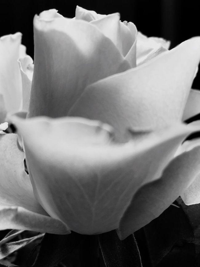 Roses EyeEm Best Shots - Black + White Eye4black&white  EyeEm Nature Lover EyeEmBestPics Showcase July