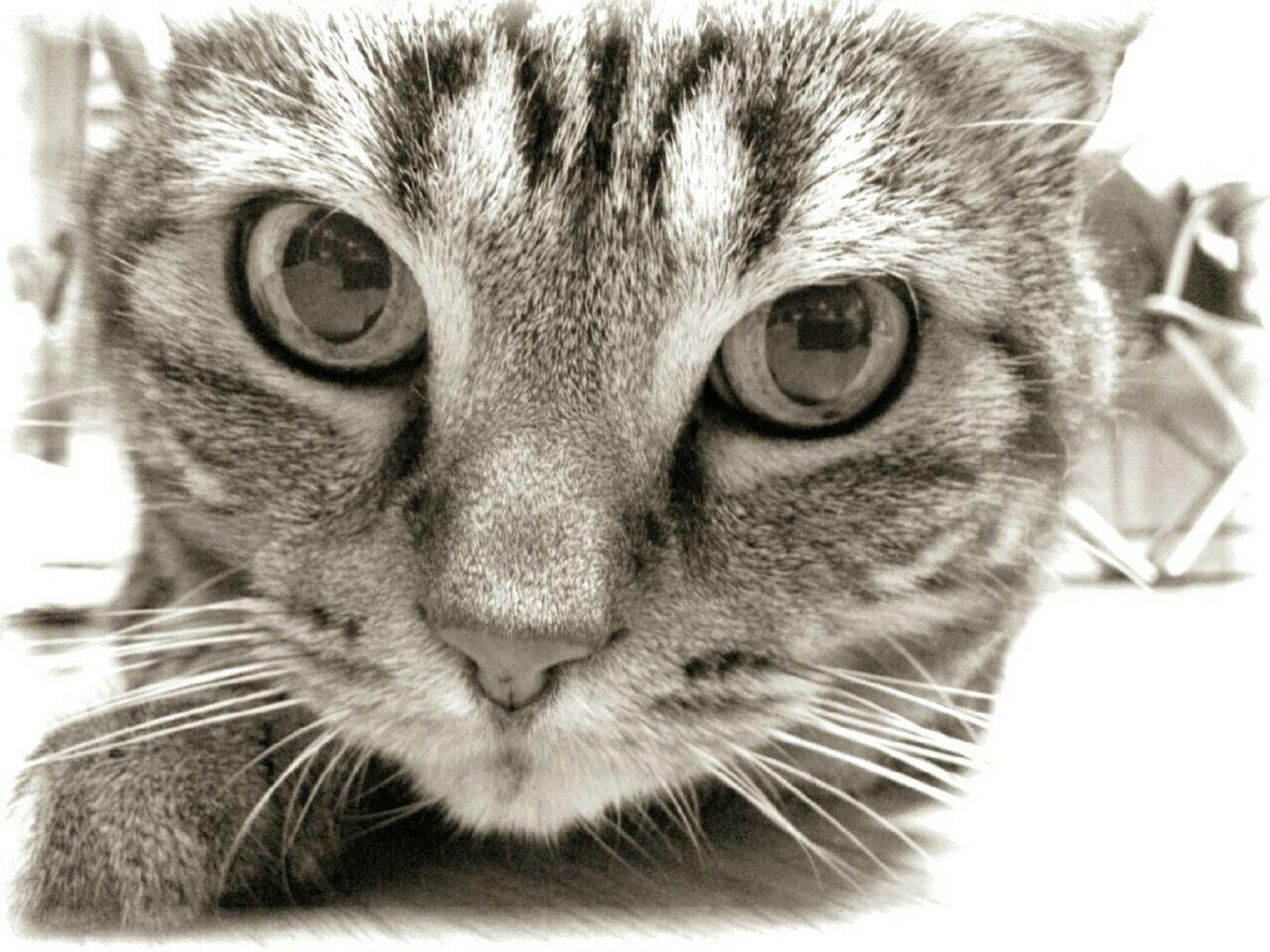 Cat Blackandwhite