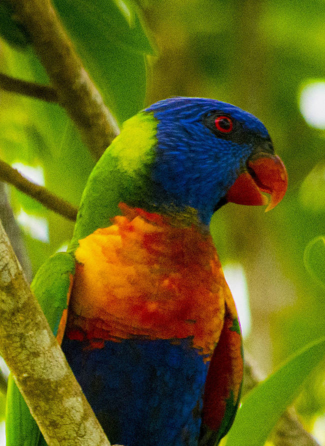 Beautiful visitors to my garden Animals In The Wild Avian Beak Beauty In Nature Bird Close-up Day Enjoying Life Focus On Foreground Front View Green Looking Multi Colored Nature No People One Animal Parrots Perching Rainbow Lorikeet Selective Focus Taking Photos Vibrant Color Wildlife Zoology