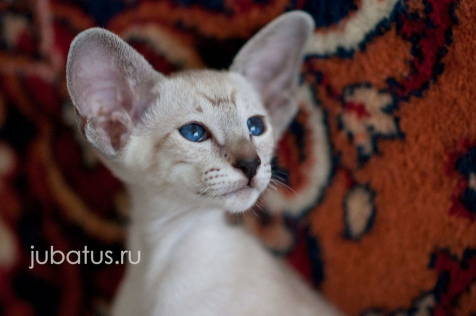 Domestic Cat Pets One Animal Animal Themes Close-up No People Domestic Animals Feline Portrait Indoors  Whisker Jubatus Young Animal Kitten Baby Animal Animal Body Part Looking At Camera Blue Eyes BlueEyes Siamese Cat Siamese Siam Siamesecats