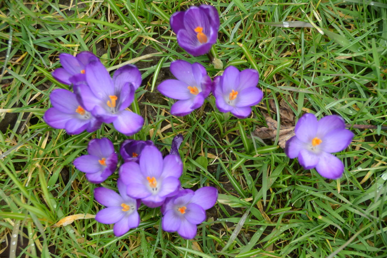 flower, growth, nature, petal, beauty in nature, field, purple, grass, freshness, high angle view, fragility, no people, flower head, plant, outdoors, blooming, day, crocus, close-up