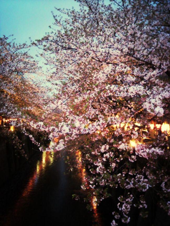 Japanese Cherry Tree.