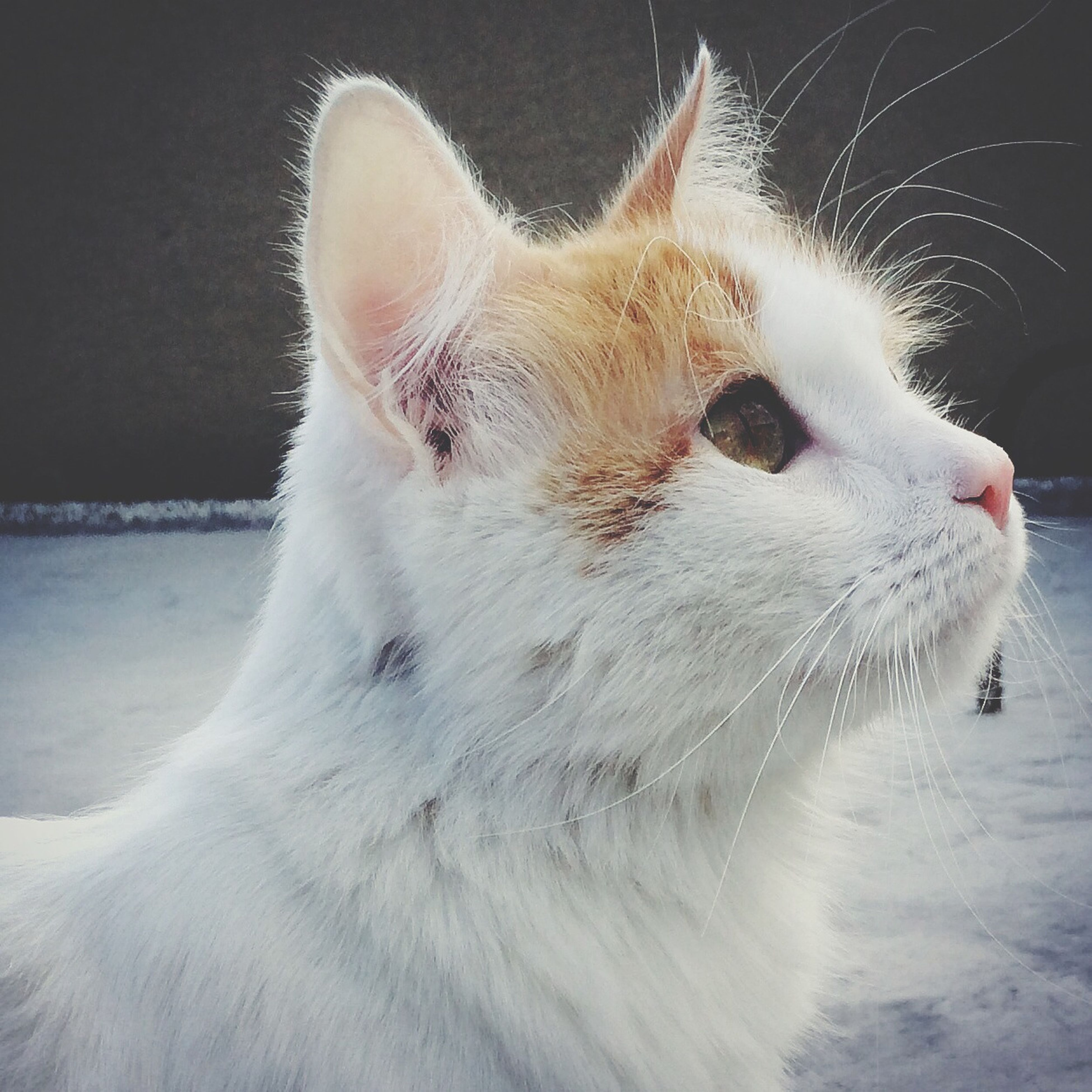 one animal, animal themes, domestic animals, pets, mammal, domestic cat, cat, feline, whisker, animal head, close-up, animal body part, looking away, white color, side view, focus on foreground, no people, animal hair, outdoors, dog